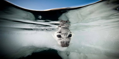'Harp Seal' by Jennifer Hayes