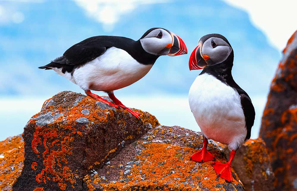 Elysium Arctic - Image: Puffins in Svalbard by Michael Aw