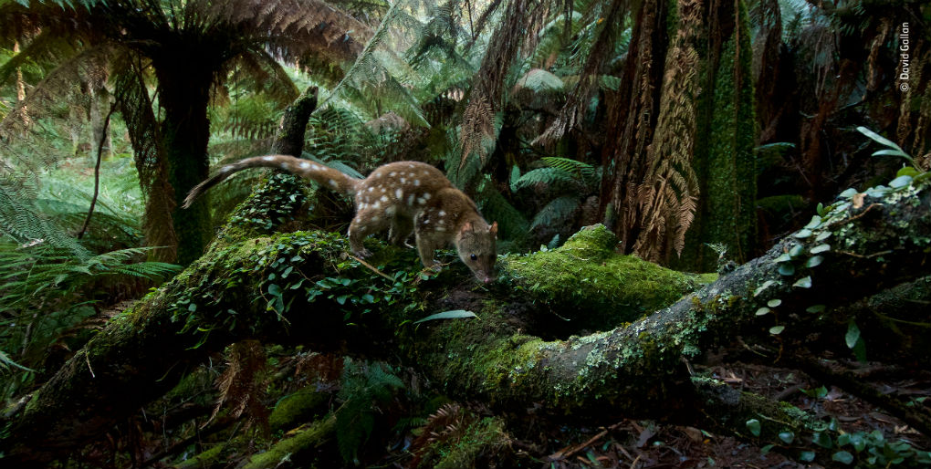 © David Gallan - Home Of The Quoll