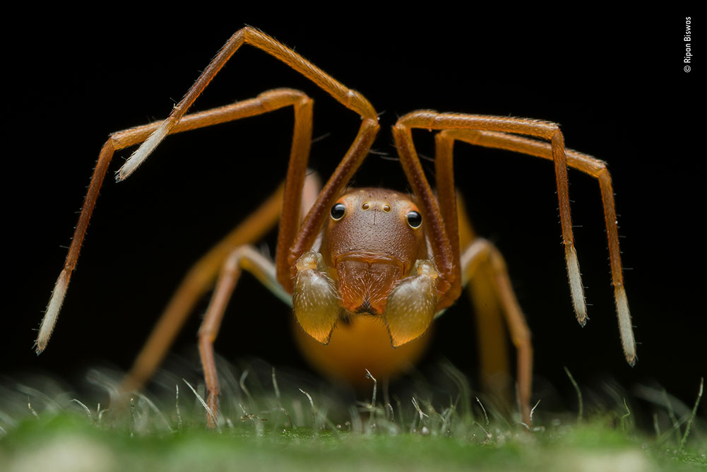 Winner: Face of Deception by Ripan Biswas, India. Ripan was photographing a red weaver ant colony when he spotted this slightly strange individual. It may have the face of an ant but its eight legs give it away – on closer inspection Ripan discovered that it was an ant-mimicking crab spider. By reverse mounting his lens, Ripan converted it to a macro capable of taking extreme close-ups.