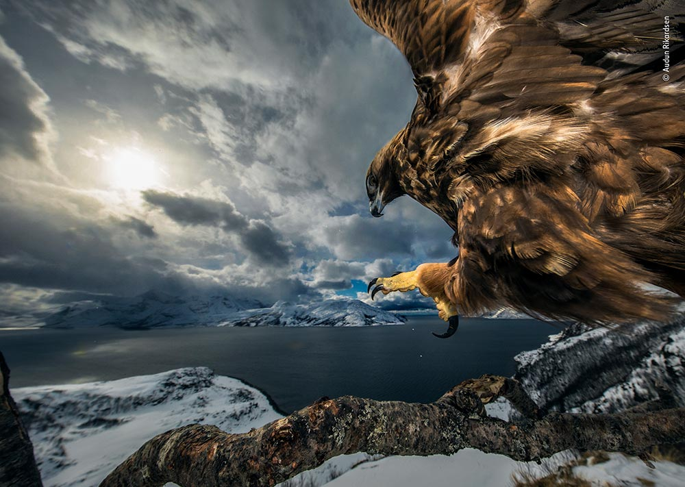 Winner (Birds): Land of the Eagle by Audun Rikardsen, Norway. Audun carefully positioned this tree branch, hoping it would make a perfect lookout for a golden eagle. He set up a camera trap and occasionally left road-kill carrion nearby. Very gradually, over the next three years, this eagle started to use the branch to survey its coastal realm. Audun captured its power as it came in to land, talons outstretched.