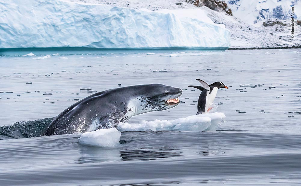 Highly Commended: If Penguins Could Fly by Eduardo del Álamo, Spain. A gentoo penguin flees for its life as a leopard seal bursts out of the water. Eduardo was expecting it. He had noticed the penguin resting on a fragment of broken ice and watched the seal swim back and forth. 'Moments later, the seal flew out of the water, mouth open,' he says.