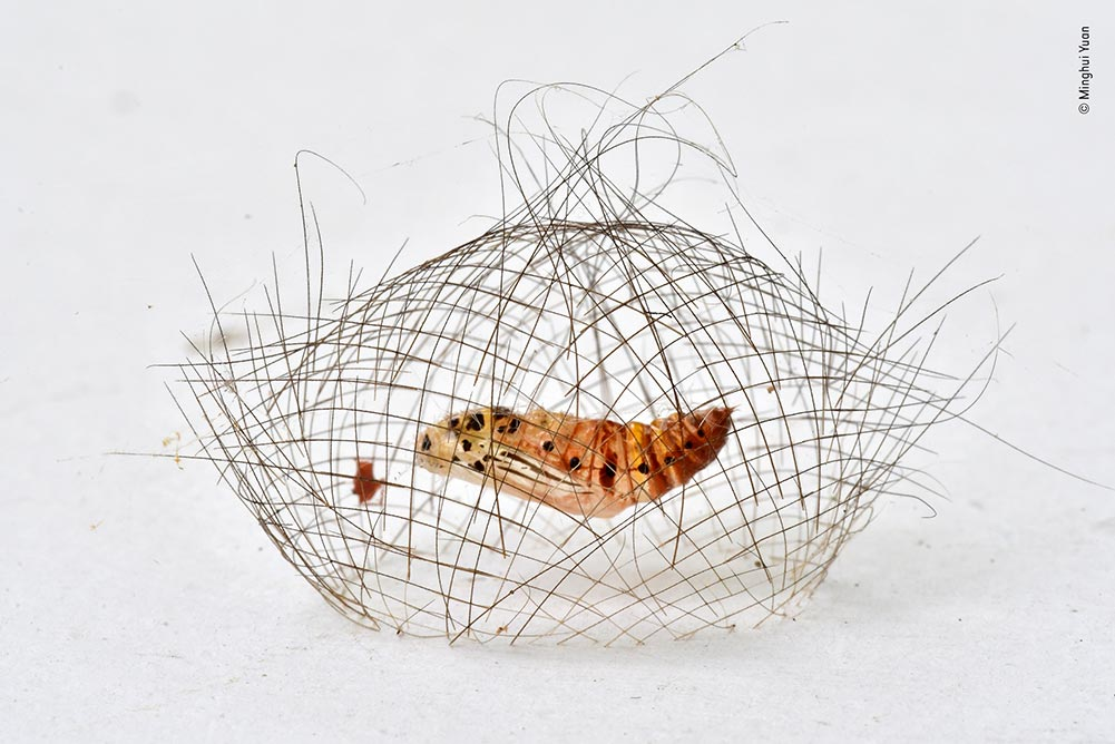 Highly Commended: The Hair-net Cocoon by Minghui Yuan, China. With his face pressed against a wall, Minghui framed this Cyana moth pupa hanging in its remarkable cage-like cocoon. Such delicate structures can be hard to spot but this one stood out against its backdrop in the Xishuangbanna Tropical Botanical Garden.