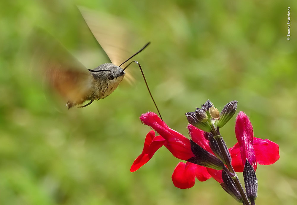 'Humming Surprise', Thomas Easterbrook, UK. A curious sound drew Thomas to this hummingbird hawkmoth. He watched as it hovered in front of each salvia flower and drank the nectar using its long, straw-like proboscis. Framing the fast-moving insect was challenging, but Thomas was pleased with how he captured the stillness of the moth's body and the blur of its wings.