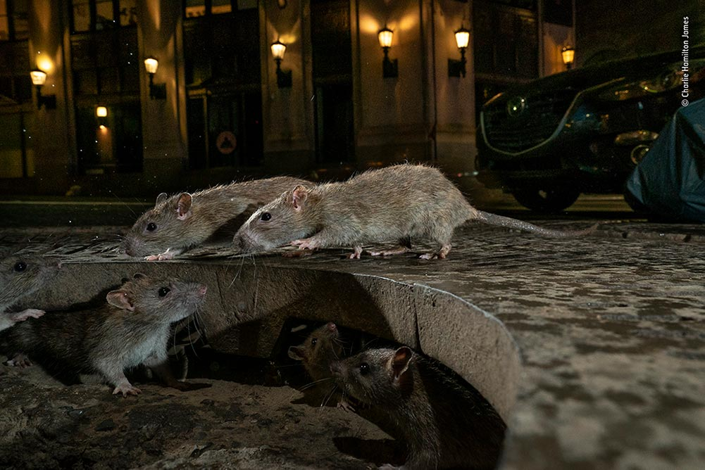 Winner (Urban Wildlife): The Rat Pack by Charlie Hamilton James. On Pearl Street in Lower Manhattan, brown rats scamper between their home under a tree grille and a pile of rubbish bags full of food waste. Lighting his shot to blend with the glow of the street lights and operating his kit remotely, Charlie captured this intimate, street-level view.