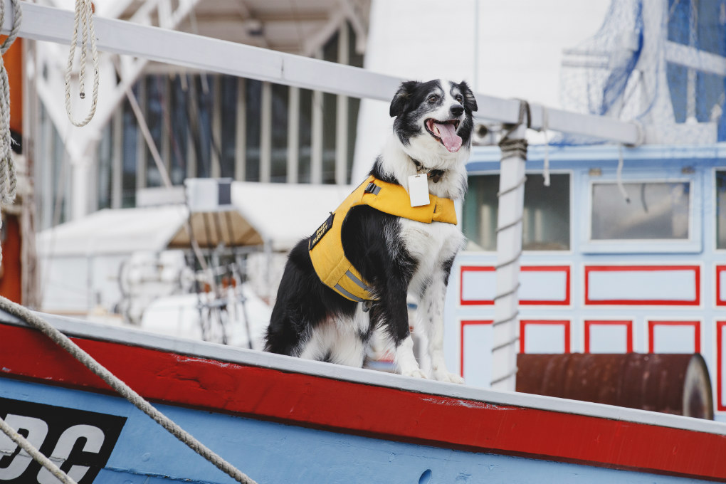 Bailey the museum dog, a member of the Security Team out on patrol on the waterfront wearing his yellow life jacket safety vest, December 2018. He is pictured on the deck of the vessel Tu Do
